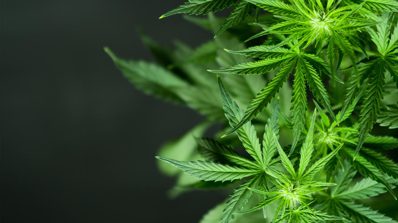 Cannabis: Grüne, handförmige Hanfblätter vor schwarzem Grund.